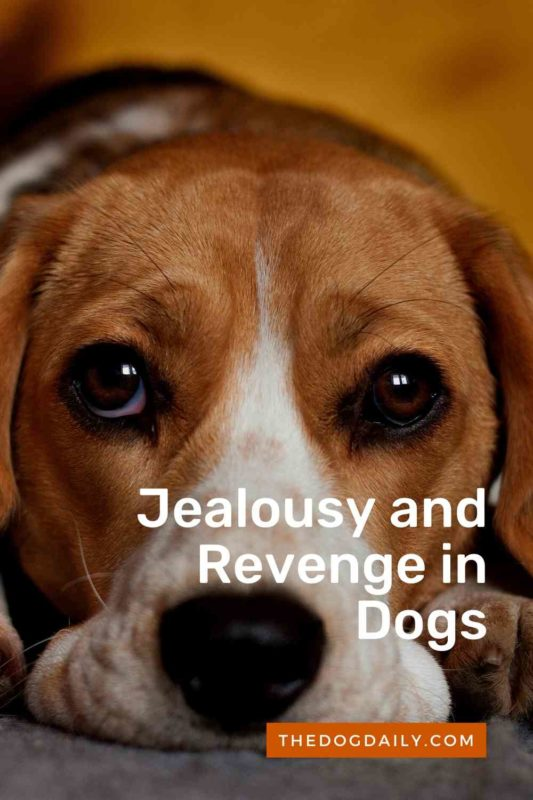 Revenge and Jealousy in Dogs thedogdaily.com