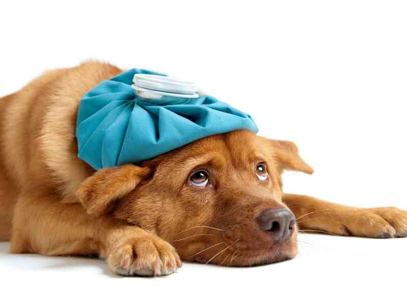 What are the Most Common Summer Ailments in Dogs Banner thedogdaily
