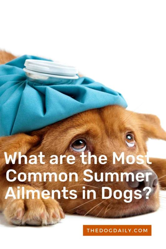 What are the Most Common Summer Diseases in Dogs thedogdaily