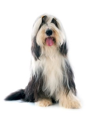 Bearded Collie thedogdaily.com