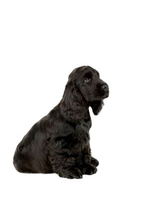 English Cocker Spaniel thedogdaily.com