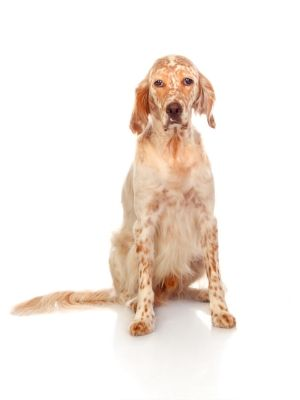 English Setter thedogdaily.com