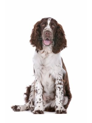 English Springer Spaniel thedogdaily.com