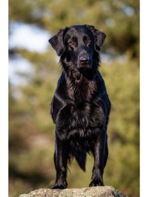 Flat-Coated Retriever thedogdaily.com