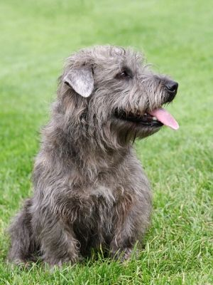 Glen of Imaal Terrier thedogdaily.com