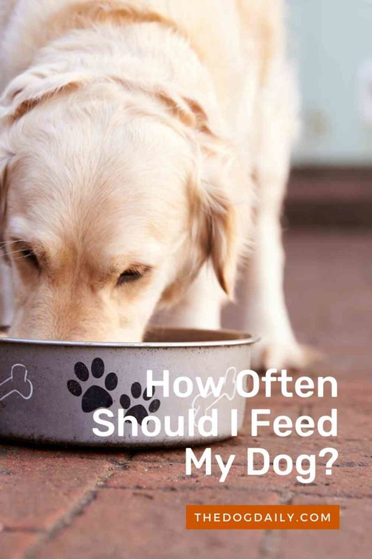 How Often Should I Feed My Dog thedogdaily
