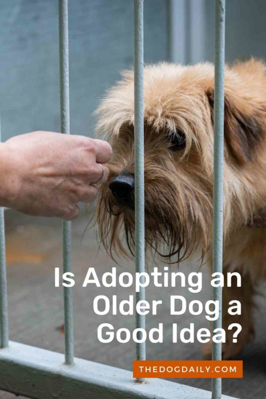 Is Adopting an Older Dog a Good Idea thedogdaily