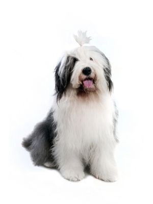 Old English Sheepdog thedogdaily.com
