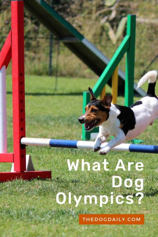 What Are Dog Olympics thedogdaily