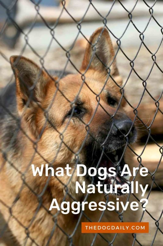 What Dogs Are Naturally Aggressive thedogdaily