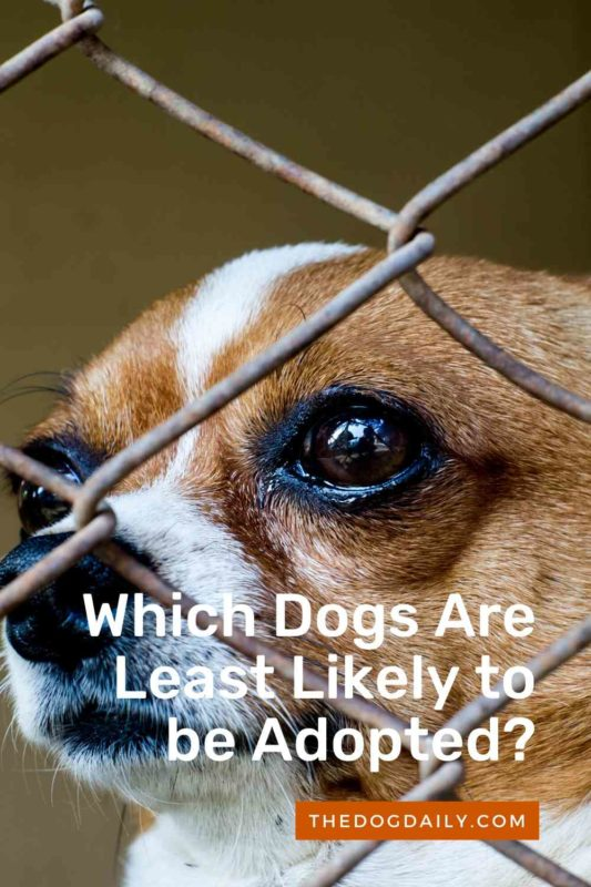 Which Dogs Are Least Likely to be Adopted thedogdaily