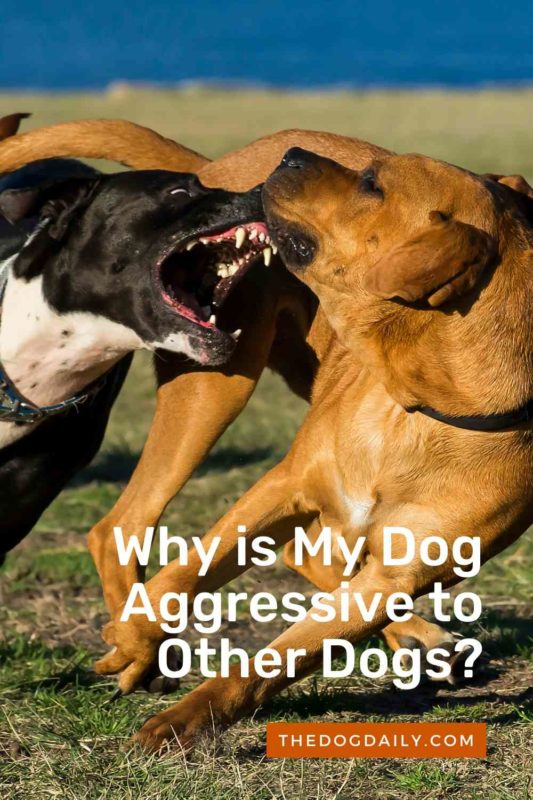 Why is My Dog Aggressive to Other Dogs thedogdaily