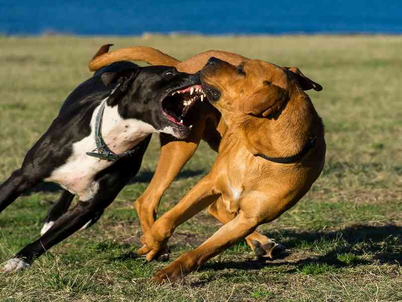 Why is My Dog Aggressive to Other Dogs Banner thedogdaily