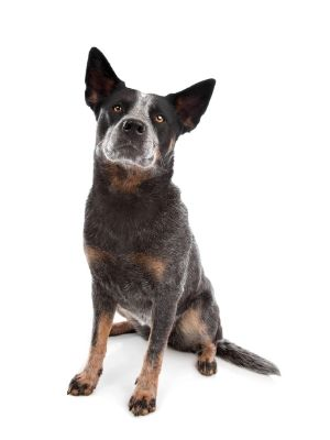 Australian Cattle Dog thedogdaily.com