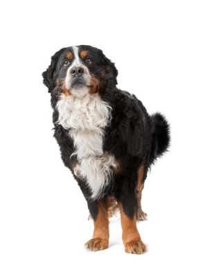 Bernese Mountain Dog thedogdaily.com