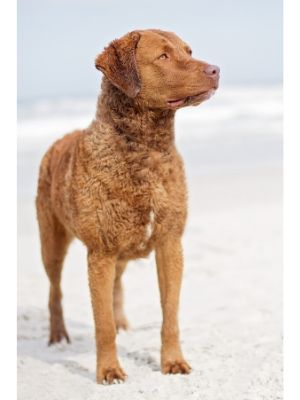 Chesapeake Bay Retriever thedogdaily.com