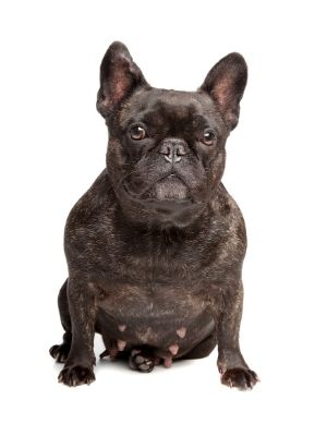 French Bulldog thedogdaily.com