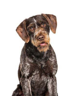 German Wirehaired Pointer thedogdaily.com
