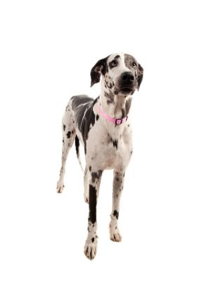 Great Dane thedogdaily.com