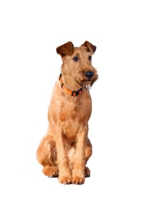 Irish Terrier thedogdaily.com