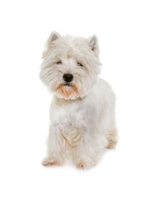 West Highland White Terrier thedogdaily.com