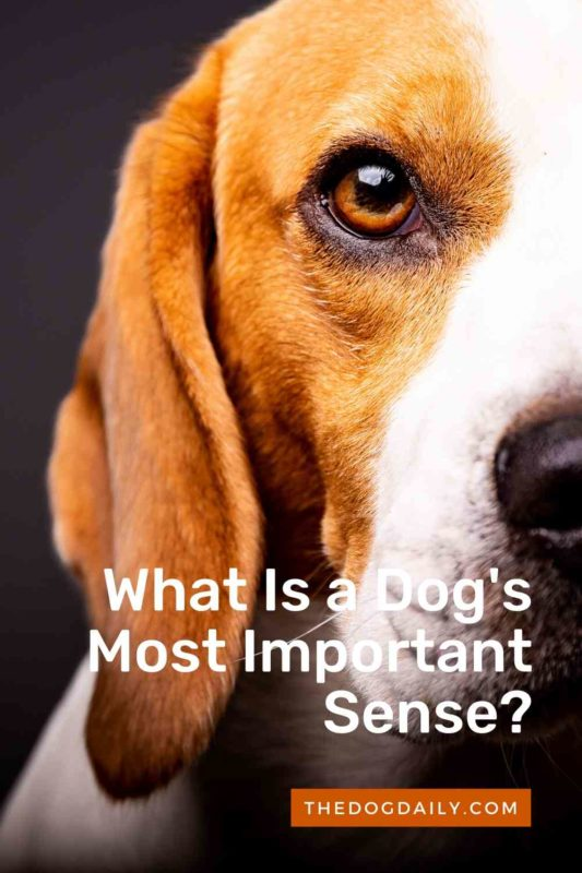 What Is a Dog's Most Important Sense thedogdaily.com